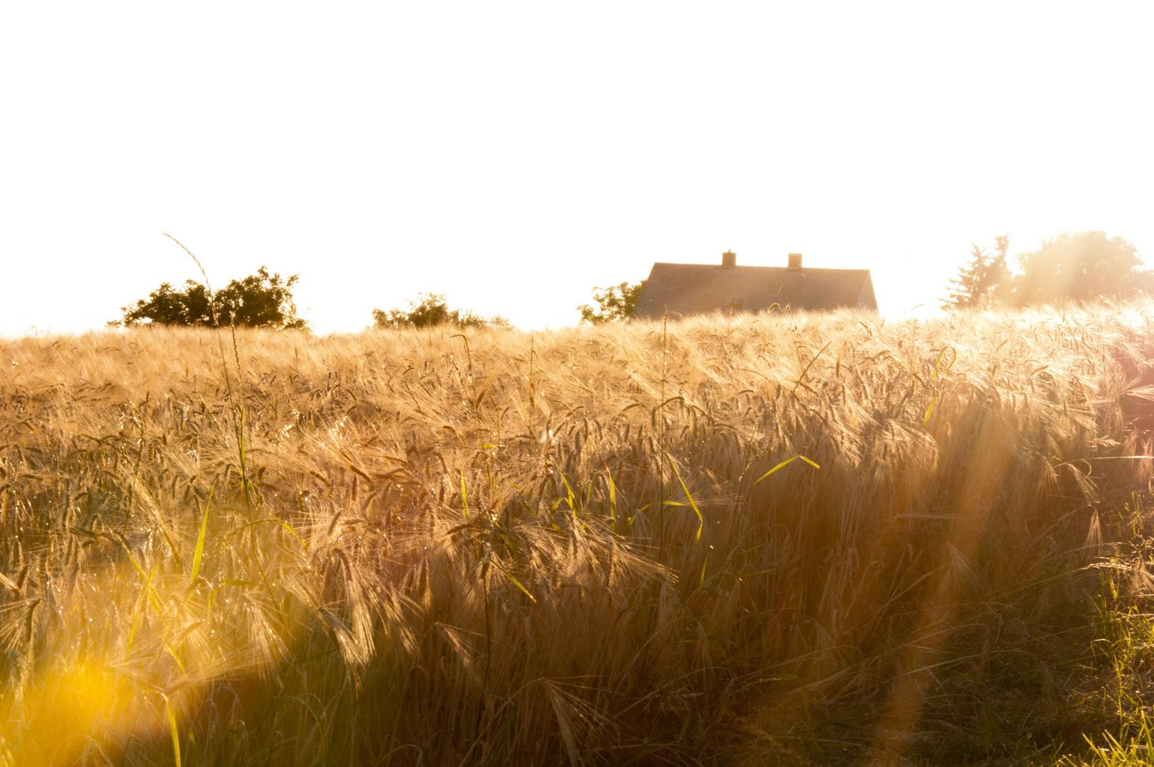 Getreide im Licht