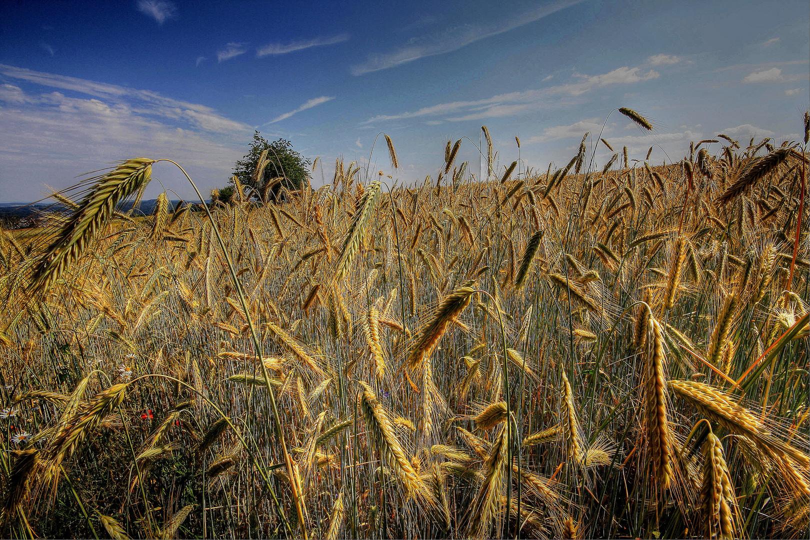 Getreide im Sonnenlicht