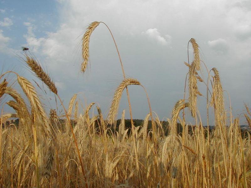 Getreide mit Fliege (nach dem Gewitter)