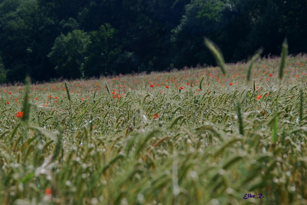 Getreide - Mohn