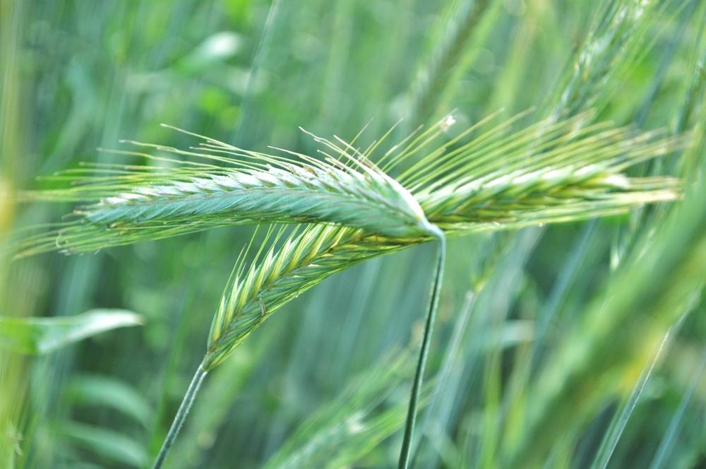 Getreide ( wir haben uns lieb)