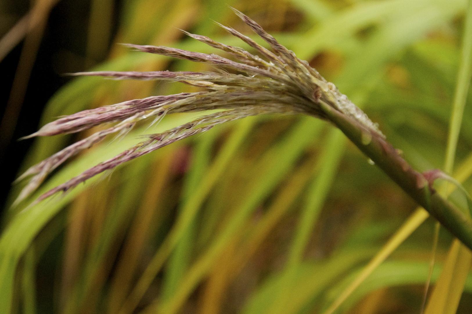 Getreideehre im Regen