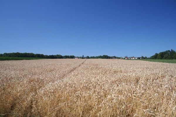 Getreidefeld an einem Hochsommertag