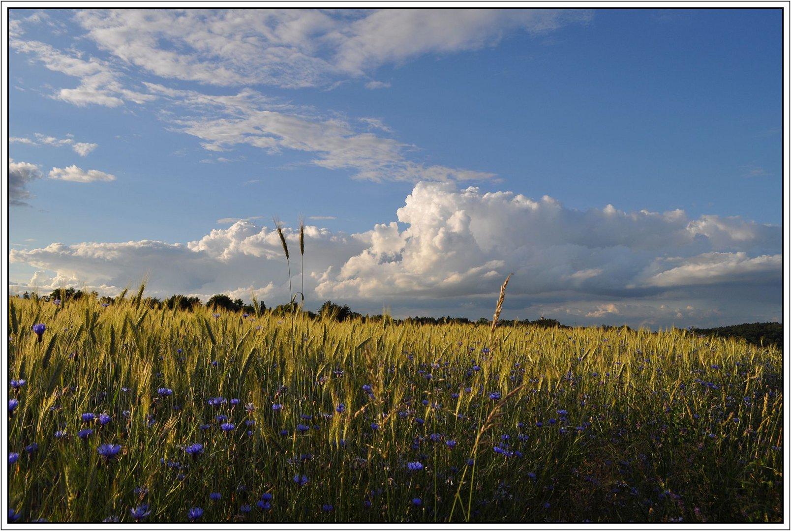 Getreidefeld, an einem Juniabend...