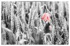 Getreidefeld bei Regen
