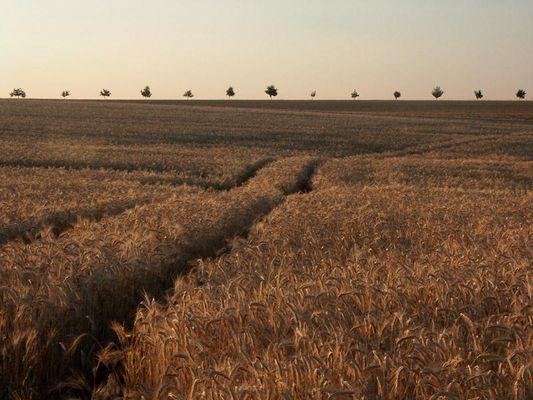 Getreidefeld in Abendstimmung