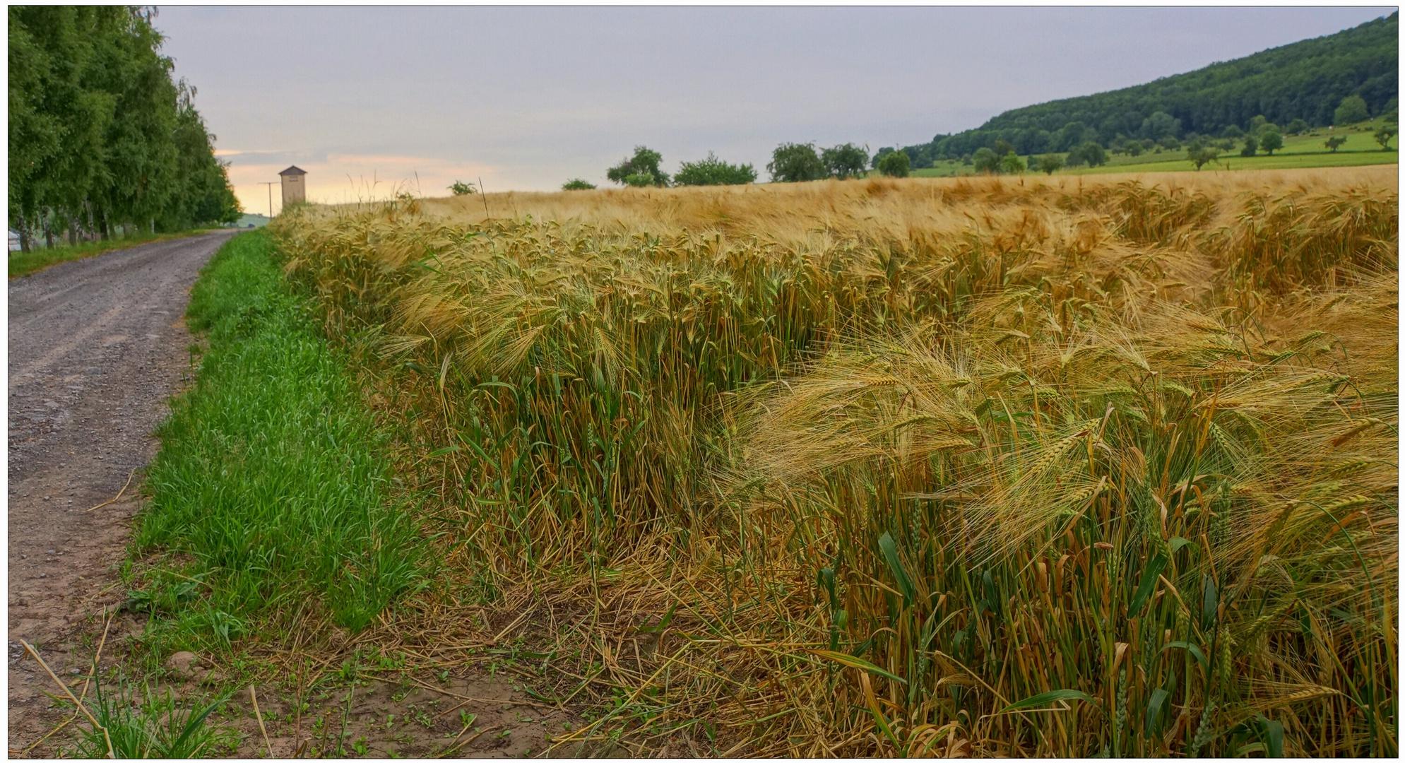 Getreidefeld IX (campo de cereales IX)