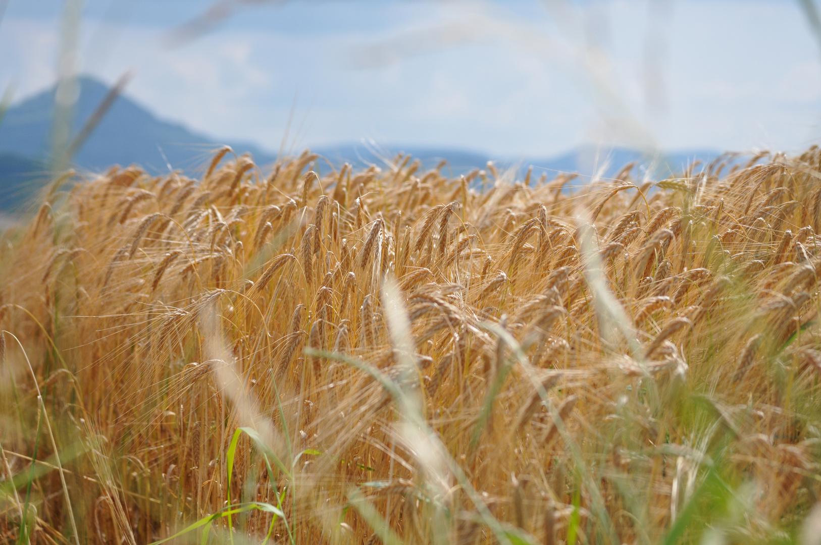 Getreidefeld mit Schwäbischer Alb