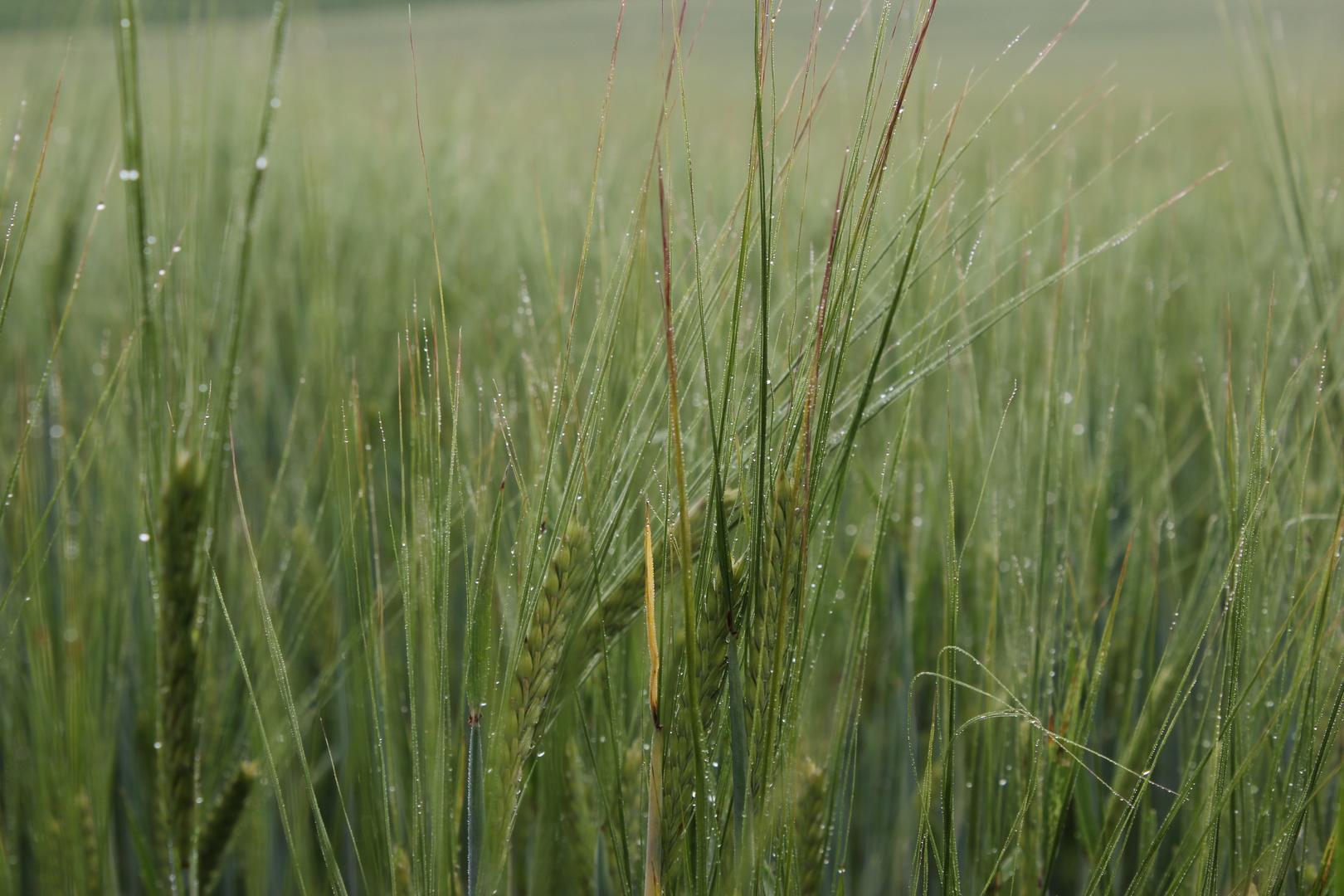 Getreidefeld nach dem Regen