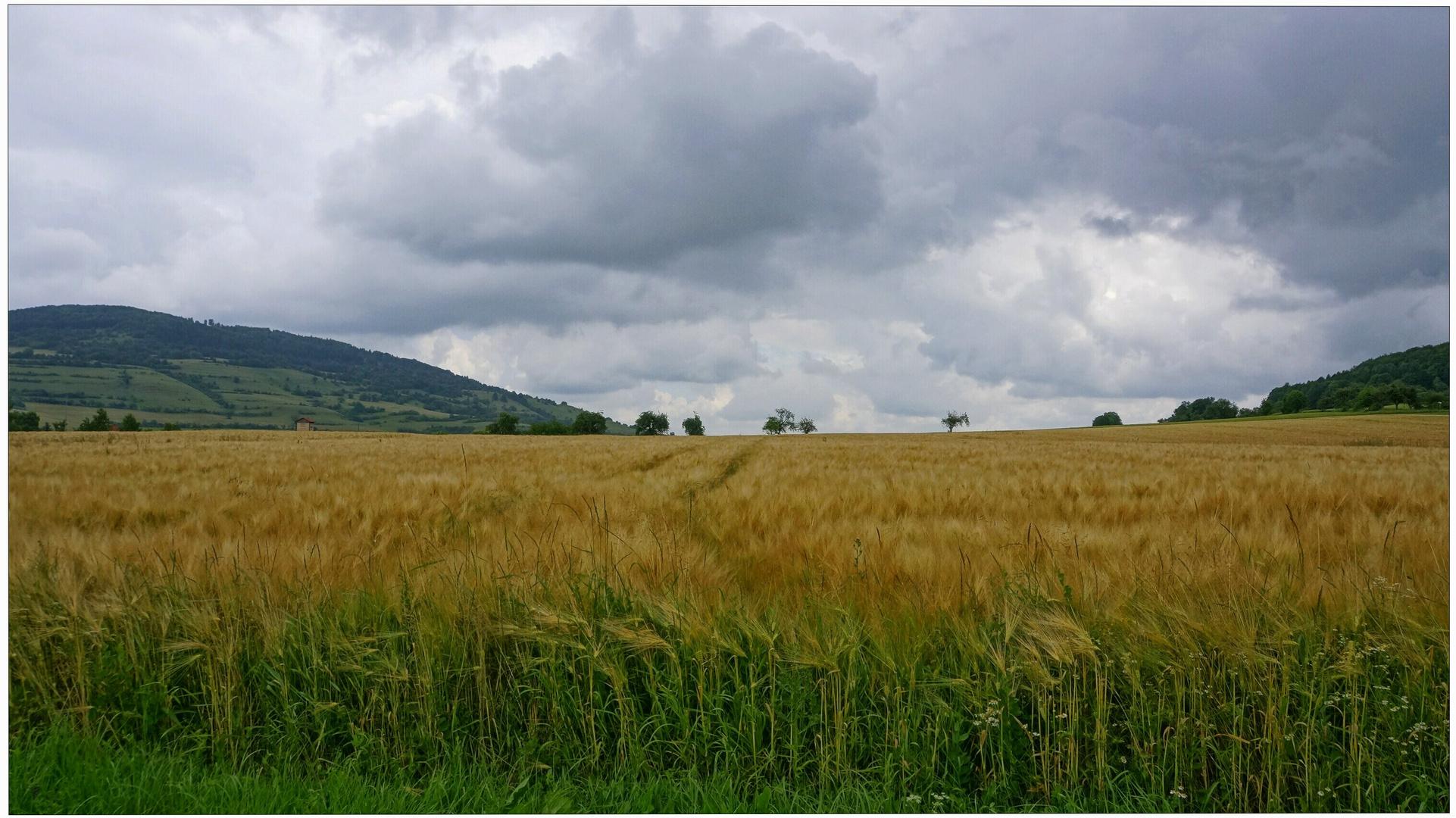 Getreidefeld VII (campo de cereales VII)