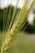 Getreidehalm