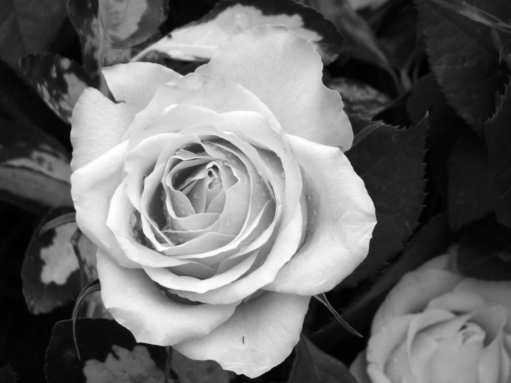 gewachste rose auf einem grab foto bild pflanzen pilze flechten bl ten kleinpflanzen. Black Bedroom Furniture Sets. Home Design Ideas