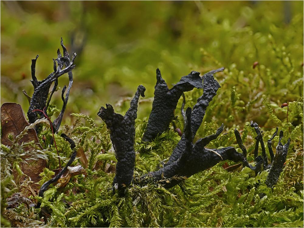 Geweihförmige Holzkeulen im Moos
