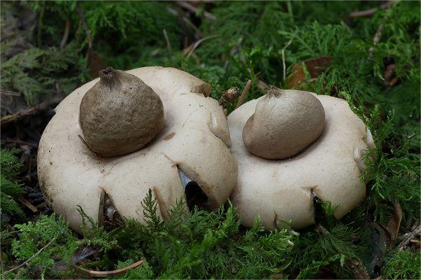 Gewimperter Erdstern (Geastrum fimbriatum)