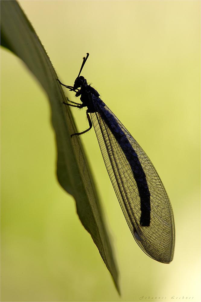 Gewöhnliche Ameisenjungfer (Myrmeleon formicarius)