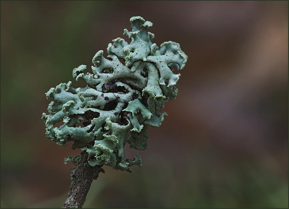 Gewöhnliche Blasenflechte (Hypogymnia physodes)