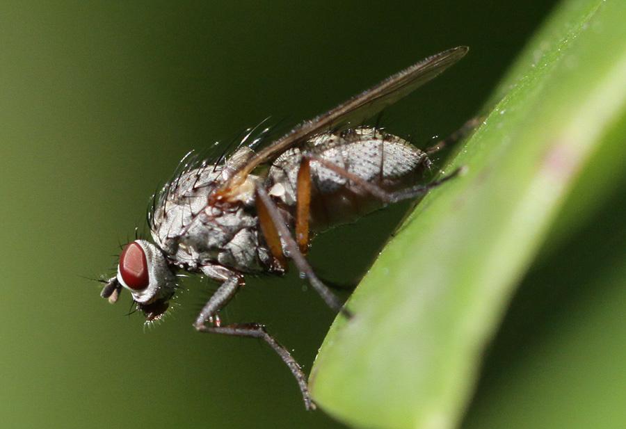 gewöhnliche Fliege