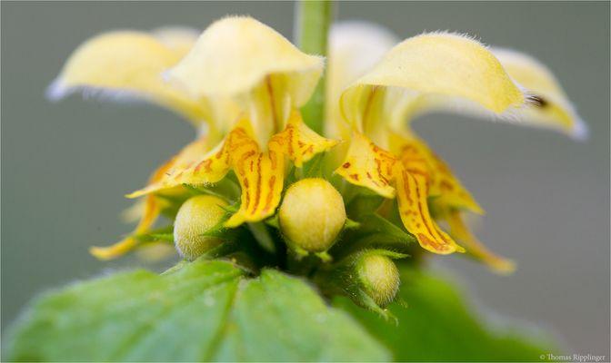 Gewöhnliche Goldnessel (Lamium galeobdolon).......