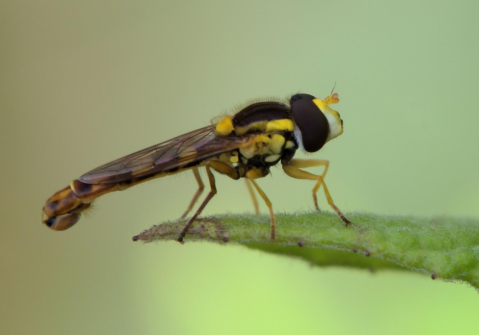 Gewöhnliche Langbauchschwebfliege