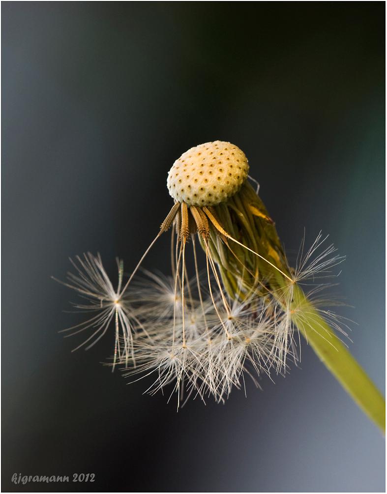 Gewöhnliche Löwenzahn (Taraxacum sect. Ruderalia).........