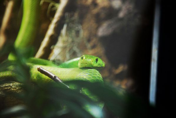 Gewöhnliche Mamba / Common or Eastern Green Mamba