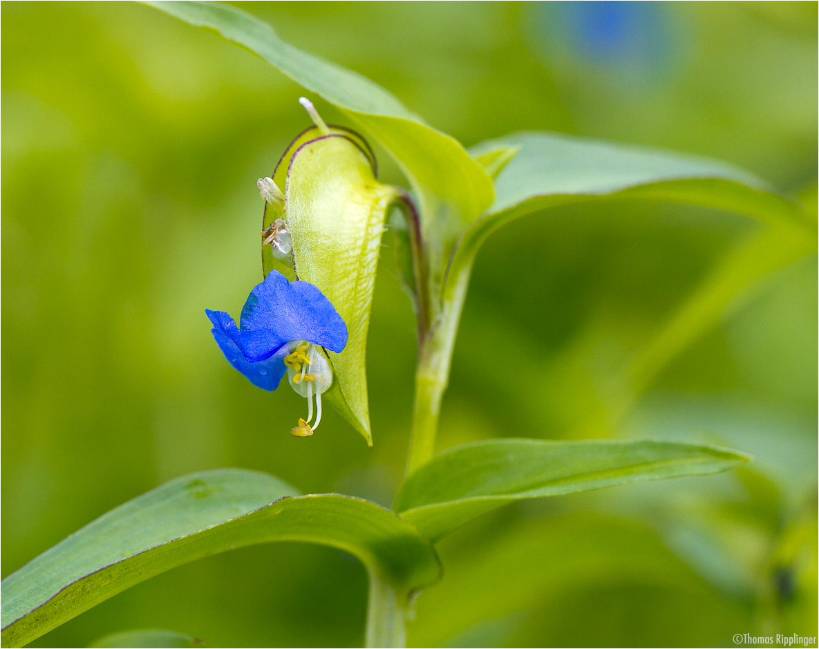 Gewöhnliche Tagblume (Commelina communis)