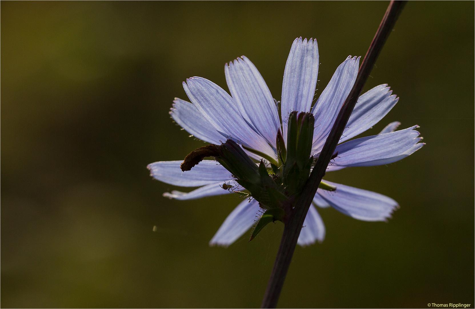 Gewöhnliche Wegwarte (Cichorium intybus).. .