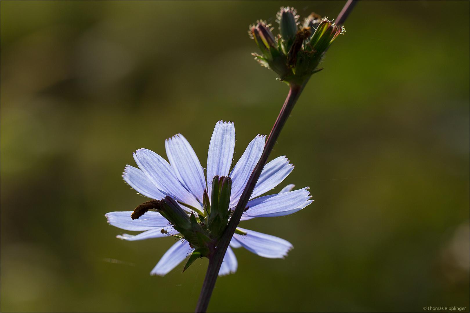 Gewöhnliche Wegwarte (Cichorium intybus).. ..
