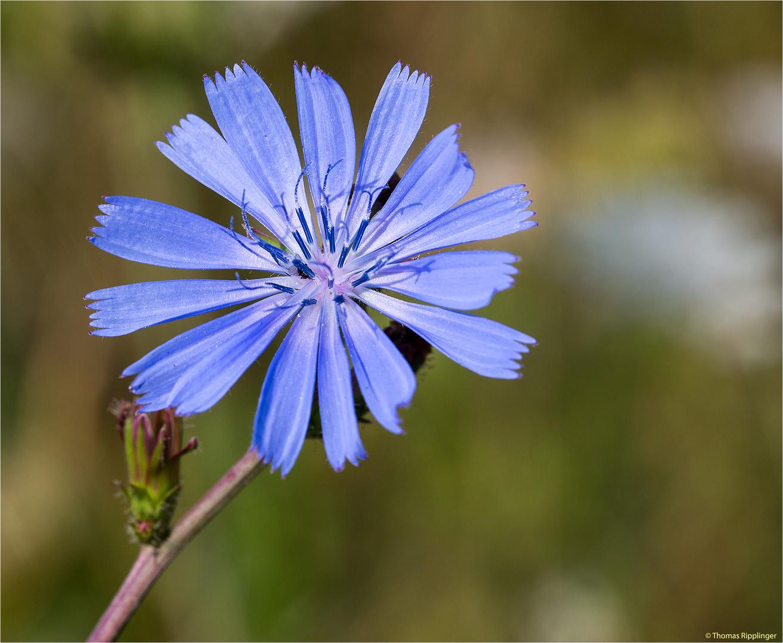 Gewöhnliche Wegwarte (Cichorium intybus).. .. ..