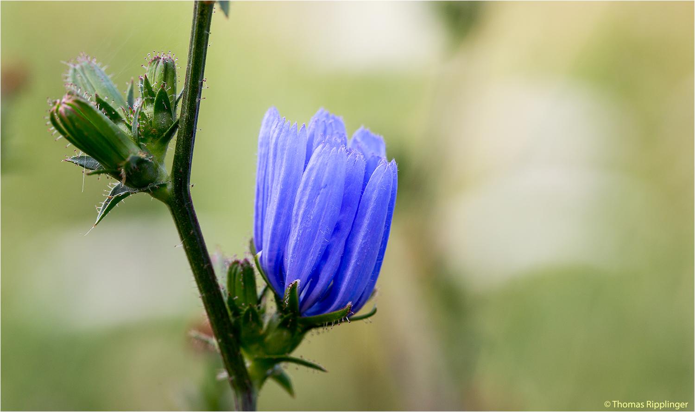 Gewöhnliche Wegwarte (Cichorium intybus)..
