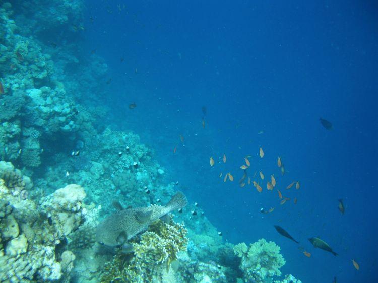 Gewöhnlicher Igelfisch im Riff