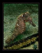 Gewöhnliches Seepferdchen -Hippocampus taeniopterus-