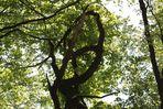 gewundener Baum