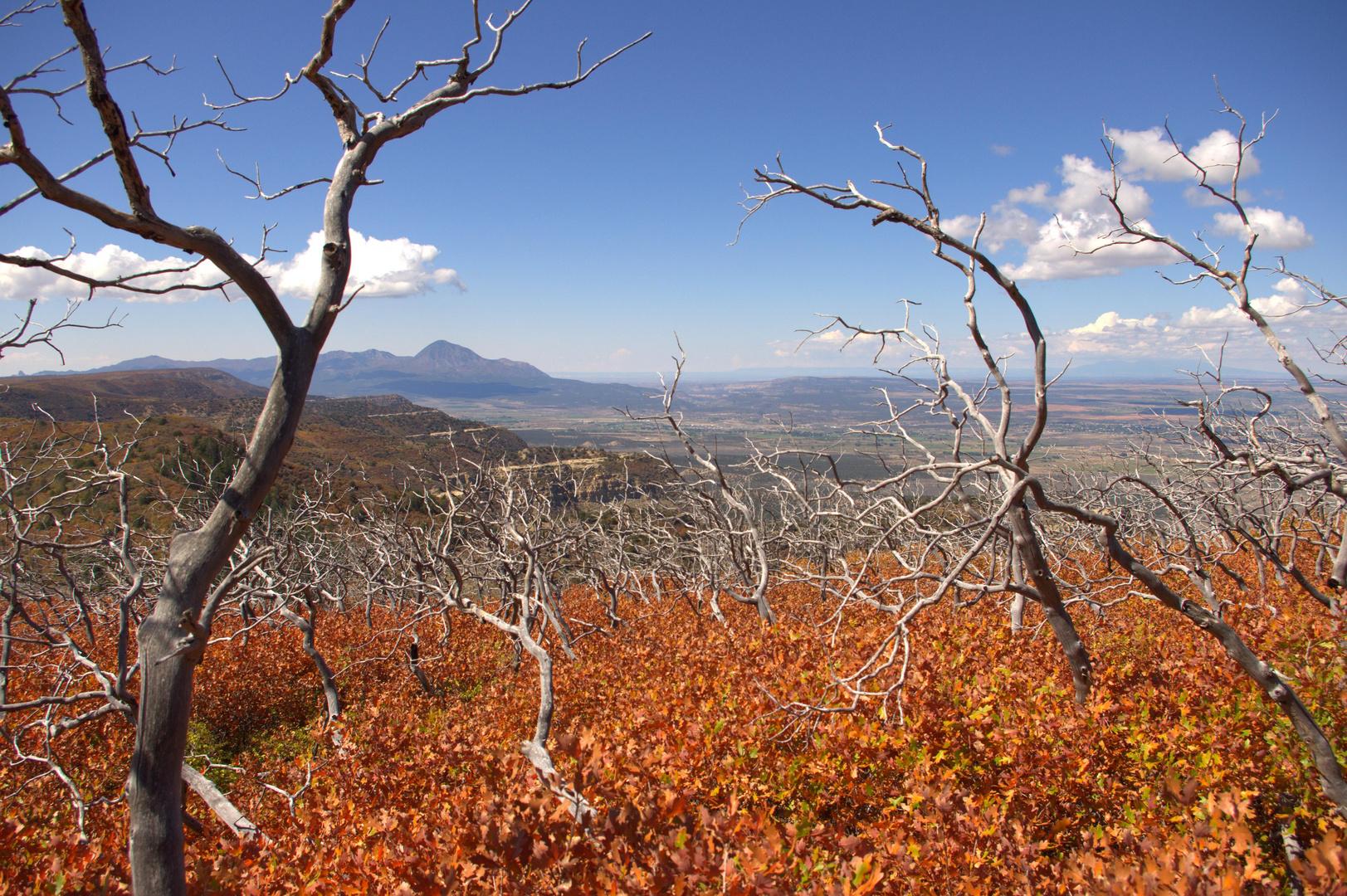 Ghost Trees - Mesa Verde, Colorado, USA