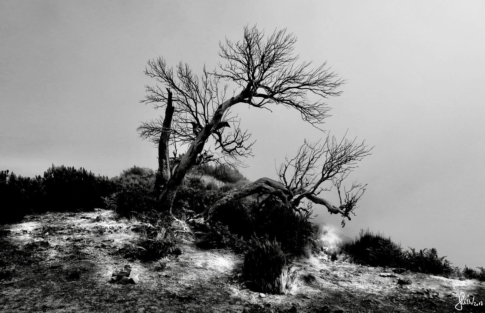 Ghost Trees of Madeira 1