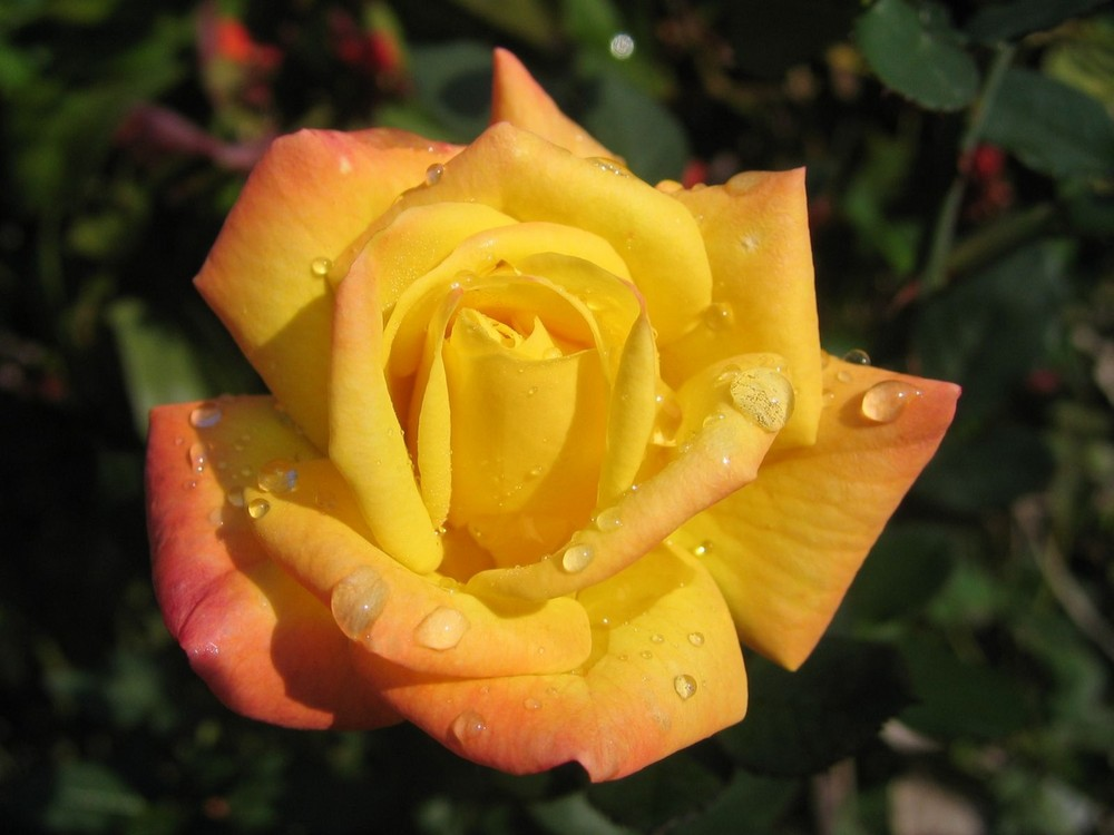 gialla e rosa