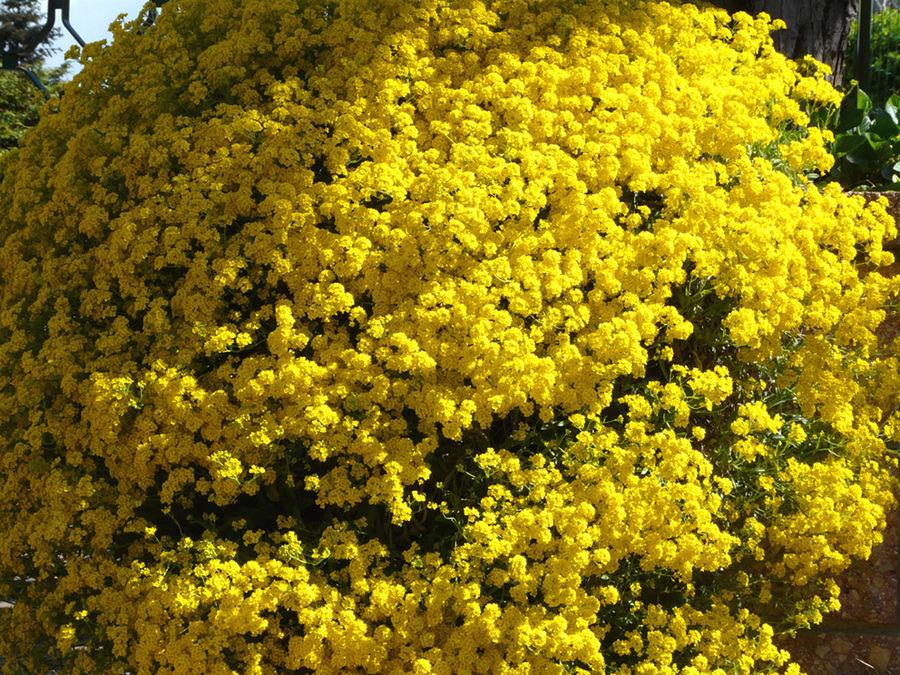 giallo pieno