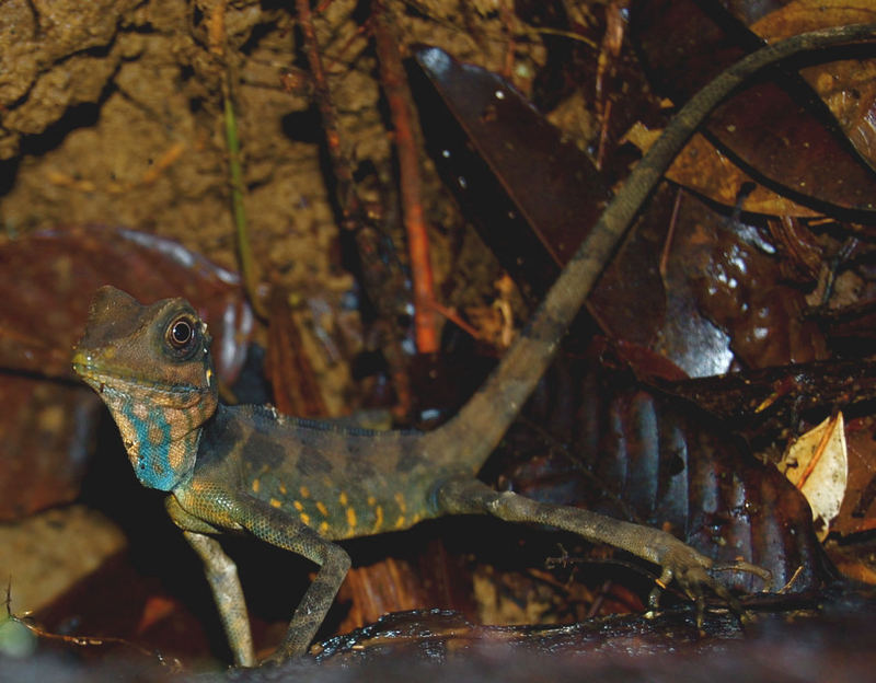 Giant angle-headed lizard (Gonocephalus grandis)