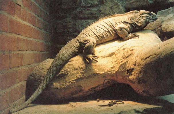 Giant Iguana - Bristol Zoo