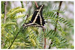 Giant Swallowtail / Riesenschwalbenschwanz.....