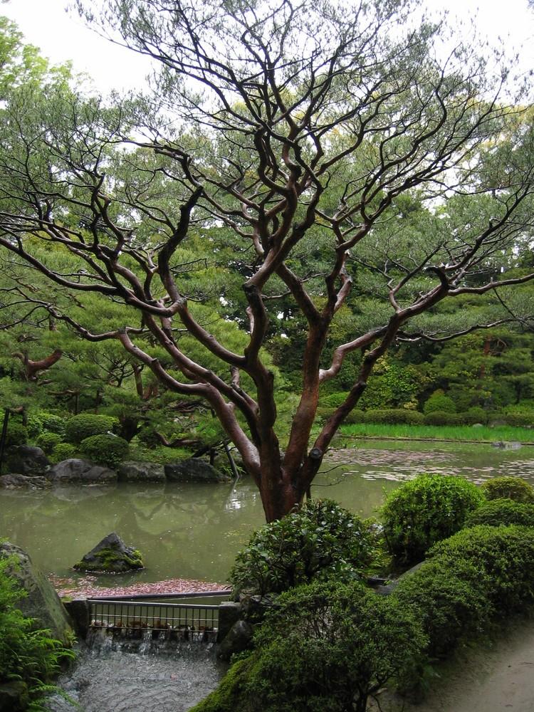 Giardino di ciliegi a Kyoto