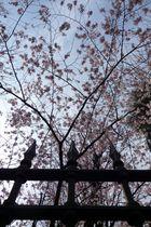 Giardino di ciliegi a Milano