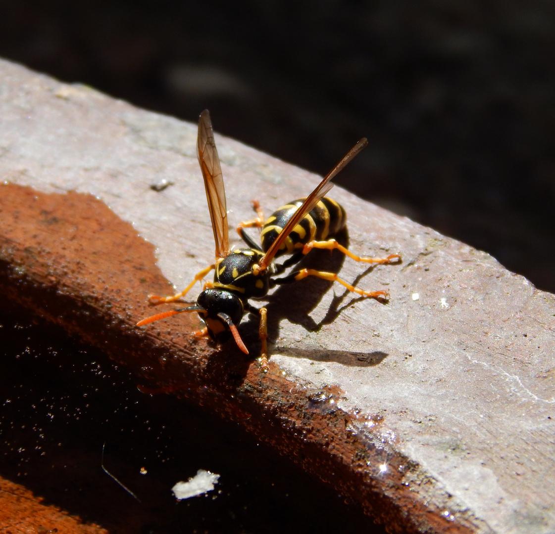Gib der Wespe Zucker.