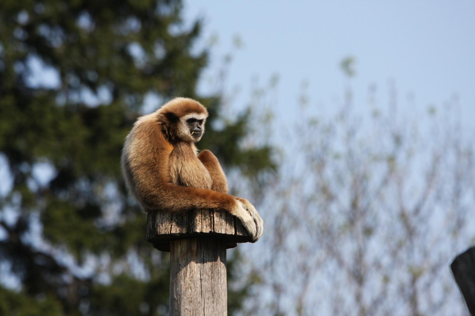 Gibbon am Baum