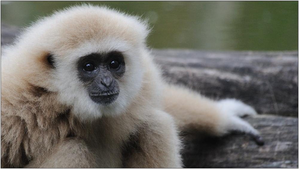 ... Gibbon ...