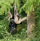 Gibbonfamilie