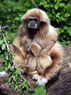 """Gibbonweibchen """"Sipura"""" in Mutterglück"""