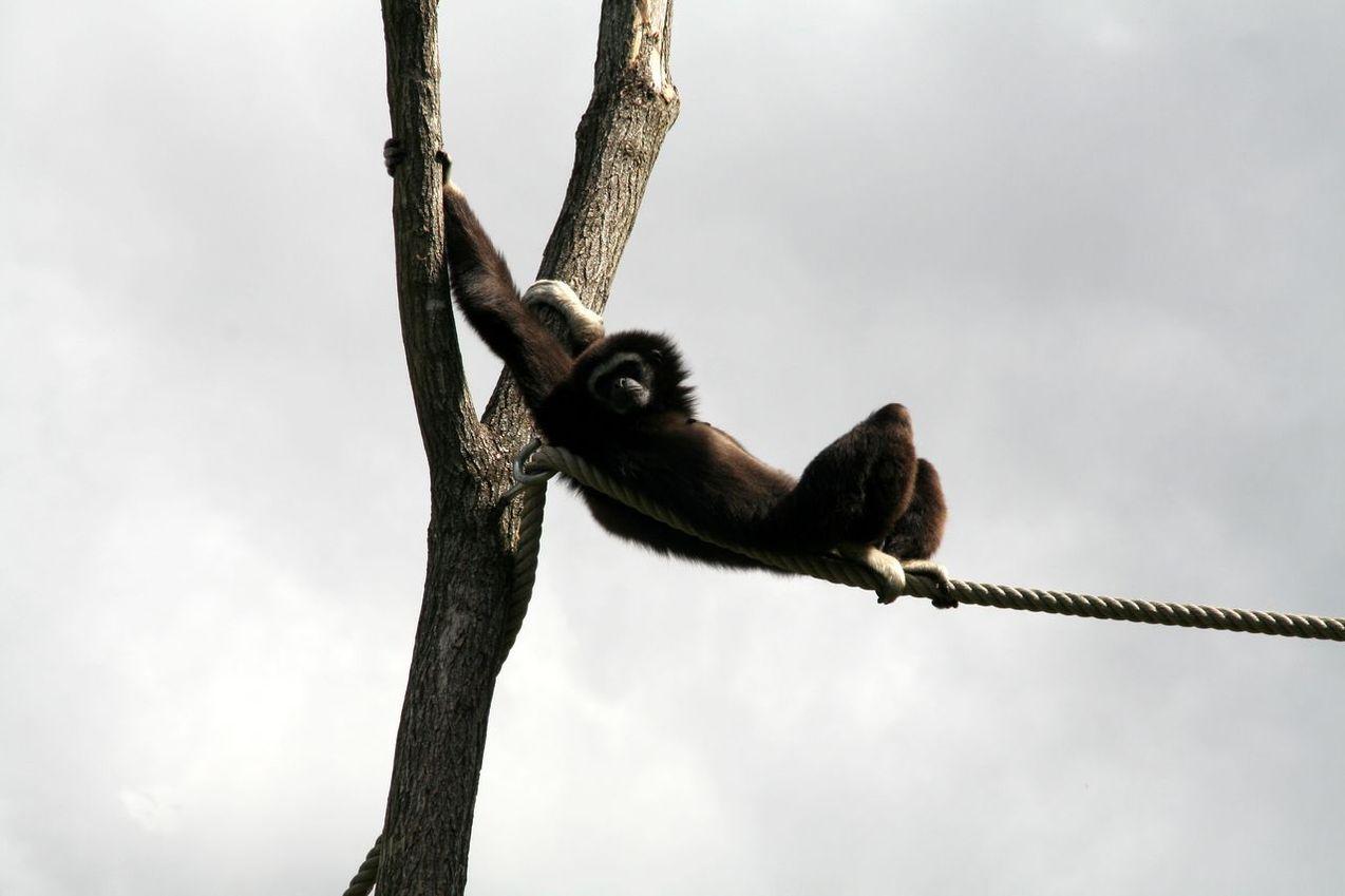 Gibón descansando a 10 metros del suelo tras mecerse de rama en rama.