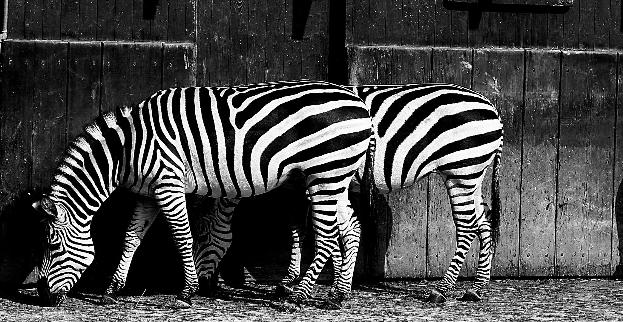Gibt es Zwillinge unter Zebras ??