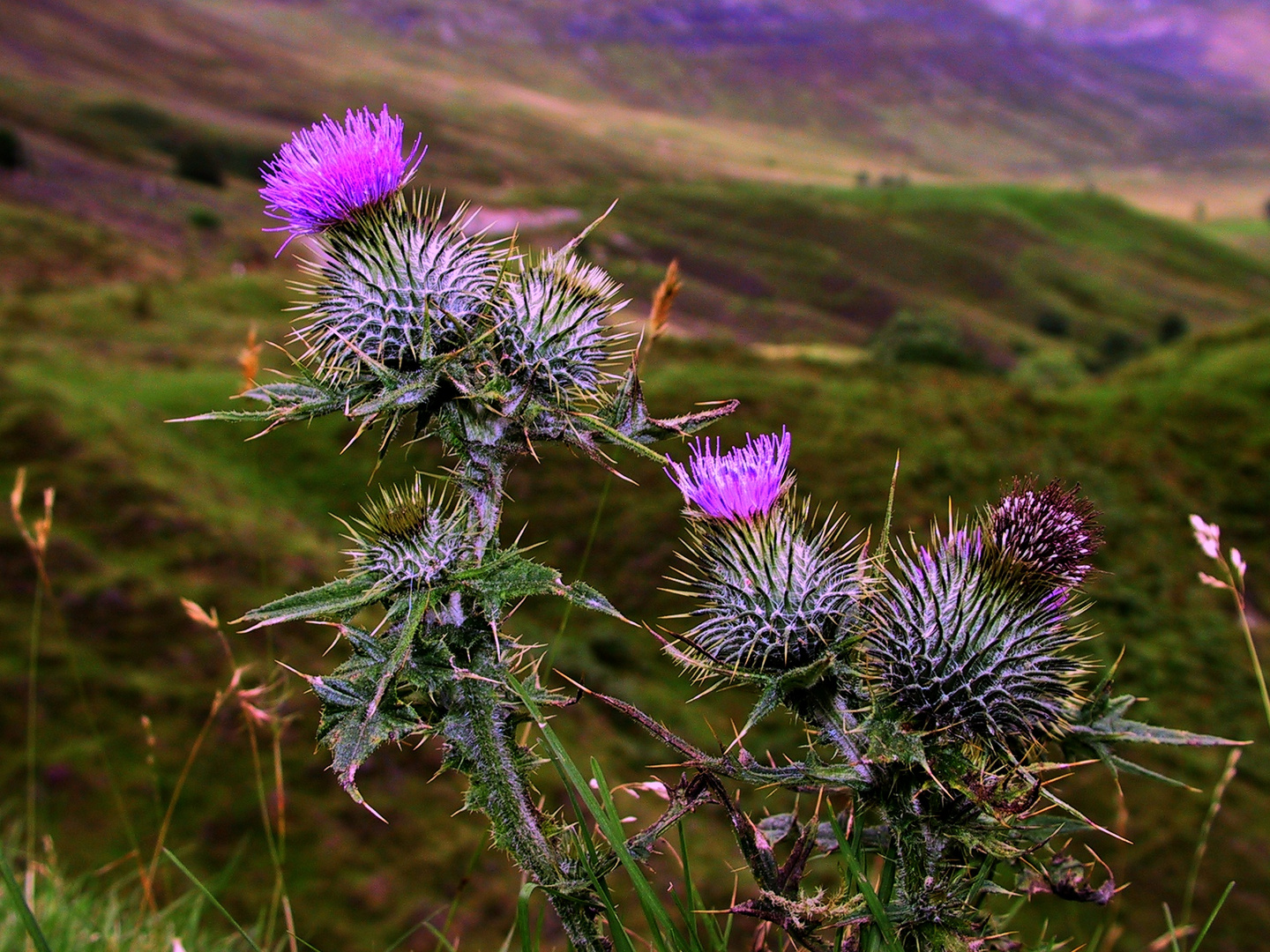 Gift of a Thistle